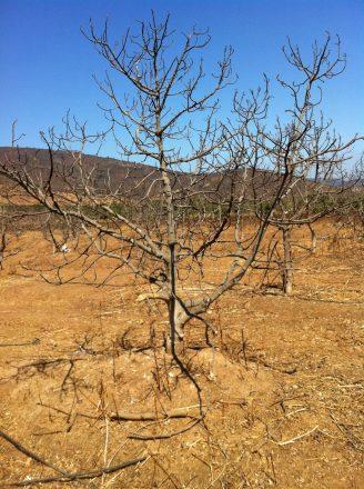 Las plantaciones de paltos en zonas como Petorca llevaron a amplios territorios a la sequía.