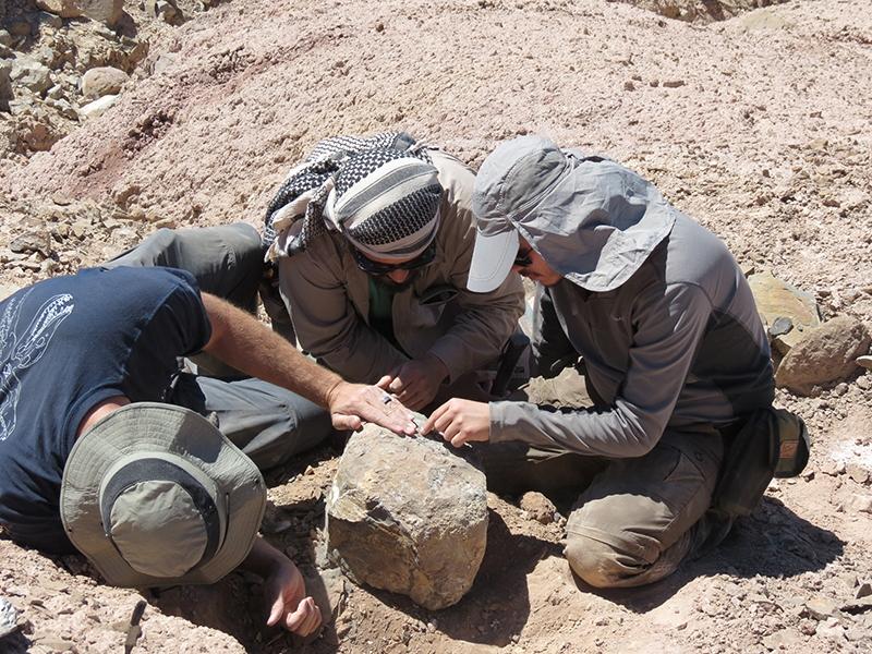 Los restos esqueléticos de este animal fueron encontrados en Cerritos Bayos, cerca de 30 kilómetros al suroeste de Calama, un lugar donde se han hecho otros extraordinarios hallazgos paleontológicos.
